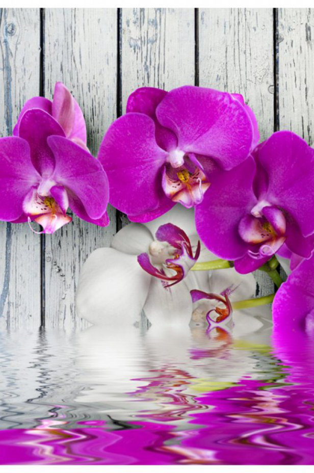Orchidee Fototapeta - Violet orchids with water reflexion